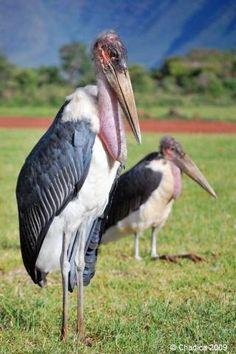 切られた羽が生えて…逃げたアフリカハゲコウ、捕獲難しく(読売新聞)  千葉市若葉区にある千葉市動物公園から、コウノトリの仲間のアフリカハゲコウの雌一羽が逃げ出したそうです。 元記事に脱走中のハゲコウの写真があります。  動物園などで屋外飼育されている鳥類は羽(の一部)を切って飛ん...