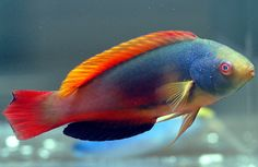Fairy Wrasse Fish | scott s fairy wrasses are one of the most vividly colored wrasses ...
