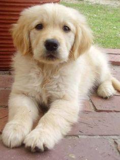 cute little golden retriever puppy