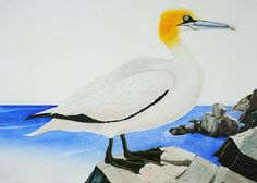 """Northern Gannet at Pulpit Rock, Monhegan Island, ME, 2005. Watercolor and gouache on paper, 34"""" x 48"""""""