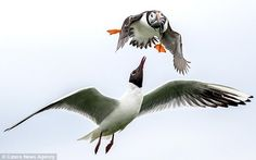 Catch of the day? This hungry black-headed gull was spotted trying its luck during a mid-a...