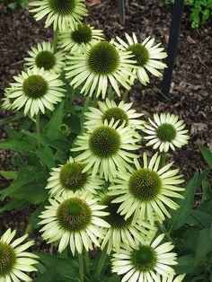 "Coneflower (echinacea) ""Green Jewel"" by Missouri Botanical Garden r"