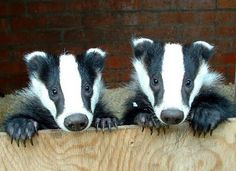 Badgers... they're cute, but they don't care!