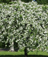 Rautatienomenapuu - Malus 'Hyvingiensis'