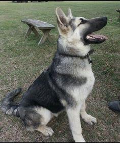 Black and silver german shepherd pup Ayers Legends German Shepherds #ayerslegendsgermanshepherds