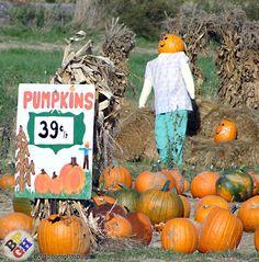 Schramm's Pumpkin Farm - 39 cents per pound