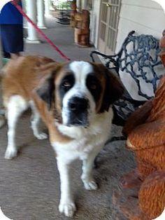 McKinney, TX - St. Bernard. Meet Cecelia, a dog for adoption. http://www.adoptapet.com/pet/11348218-mckinney-texas-st-bernard