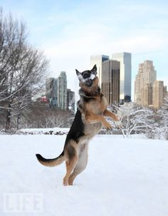 German shepherd catching a snowball in Central Park. Photo by Fran Reisner. #dogs