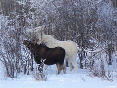 In Search of the Spirit Moose: Foleyet Ontario's Mysterious White Moose Population - Northern Ontario, Canada