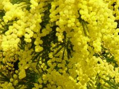 Everything about Mimosa flowers is perfection. Everything about Mimosa flowers is perfection. May Flowers, Exotic Flowers, Yellow Flowers, Acacia, Italian Symbols, Le Mimosa, Mock Orange, Flower Names, Language Of Flowers