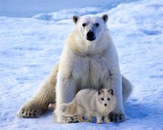 Arctic fox is usually hunted by polar bears but in Canada, there was a recorded case of a strong friendship between these two animals. They played together and the giant bear even shared his food with his little fox friend.