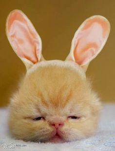 Funny animal pictures of bunny cat.