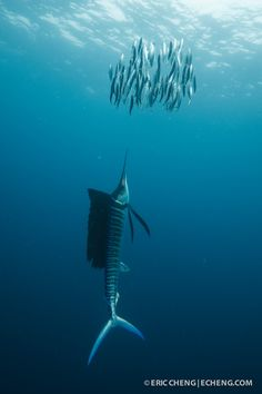 An Atlantic sailfish (Istiophorus albicans) drives a school of sardines up to the surface. Isla Mujeres, Mexico.