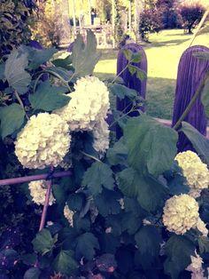 White Hortensia.