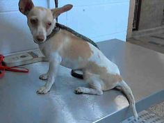 #A469745 Release date: 7/31  I am a female, white and tan Chihuahua - Smooth Coated mix. Shelter staff think I am about 1 year old. I have been at the shelter since Jul 24, 2014.       San Bernardino City Animal Control at (909) 384-1304  https://www.facebook.com/photo.php?fbid=10203144051539728&set=a.10201187177339096.1073741865.1160364024&type=3&theater
