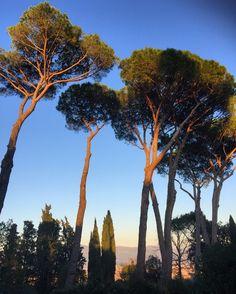 Florence umbrella pines