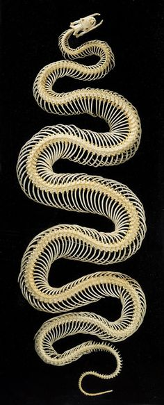 swansight:Snake skeleton. Spiral of death.