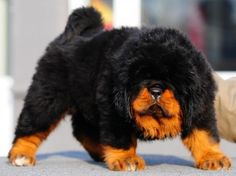 Great lion head tibetan mastiff puppy.