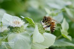 https://flic.kr/p/UHSbxq | Honey Bee at Work