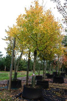 Acer campestre - Field Maple - Tree Shrub - Majestic Trees