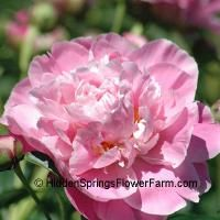 This is about the only non-edible thing I want in my garden. Pink Peonies.