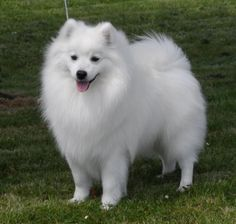 The face of the Japanese Spitz is wedge-shaped. There is certainly dense feathering around the feet.