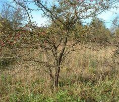 Hawthorn/Crataegus monogyna Bonsai Progression Series 1