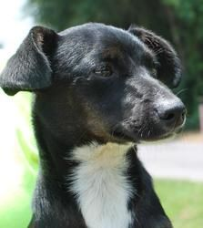 RJ 18505 is an adoptable Terrier Dog in Prattville, AL.   RJ is an 8-month-old male Terrier mix.  He is black with white markings on all 4 toes and under his chin and down his neck.  RJ only weighs 11...