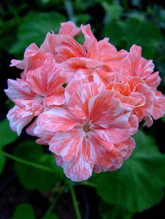 Geranium pelargonium 'Tresor'
