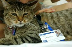 Feral Tabby born in the Wild becomes Therapy Cat in the Hospital   dir20d4p   see photos of Dakota doing his job with children for the past 8yrs