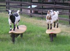 Goat playground ideas for kids Goat playground ideas Pallet Playhouse Recordke . Goat Playground Ideas for Children Goat Playground Ideas Pallet Playhouse Record on the Homestead: Goat Recordings (including free printouts! Goat Playground, Playground Ideas, Pallet Playground, Pigmy Goats, Miniature Goats, Miniature Cattle, Goat Shelter, Goat Pen, Goat Care