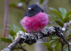 pink robin | Buy Pink Robin Image Online - Print & Canvas Photos - Martin Willis ...