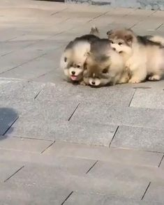 Fluffballs running and being their best doggy selves. Breed: Alaskan Malamute Puppies 🐾 They look like little running bears! - 🧡 These funny fluffy puppies are cute beyond words! Cute Husky Puppies, Super Cute Puppies, Cute Baby Dogs, Cute Little Puppies, Cute Funny Dogs, Super Cute Animals, Cute Funny Animals, Cute Baby Animals, Chow Puppies