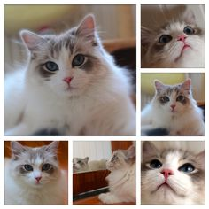 This beautiful ragdoll is from a friend of mine and she is so precious