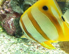 yellow fish Copperband Butterfly Fish