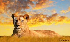 Lion And Lioness, Savannah Chat, Wildlife, Stock Photos, Explore, Sunset, Leadership Development, Animals, Image