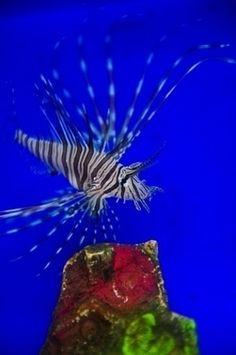 Invasion de poissons papillons dans les Caraïbes