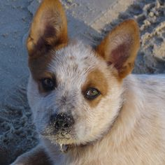 Red Cattle Dog Pup - link not working