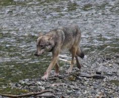 One of the highlights of our Alaska Highway road trip: watching a wolf fish for breakfast at Fish Creek Wildlife Viewing Center in Hyder, Alaska. #YukonHo!