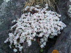 Fonds d'écran Nature > Fonds d'écran Plantes - Arbustes Plante grasse de rocaille par coogar66 - Hebus.com