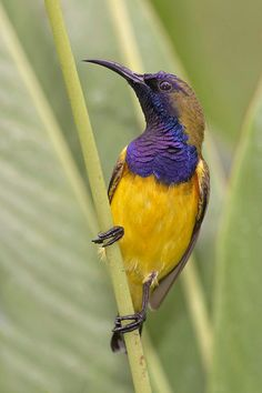 Olive-backed sundbird [male] Singapore and Malaysia
