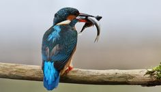Female blue Kingfisher and his hunted food