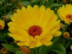 Plante care luptă împotriva cancerului de colon Colon, Calendula, Cancer, Plant