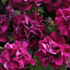 Petunia Double Madness Burgundy, trailing, full sun