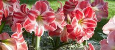 A Longwood Christmas | Longwood Gardens. Explore A Longwood Christmas. Blooms of amaryllis brighten the season