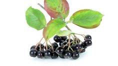 'Underutilized' chokeberry accessions show potential for nutritional products