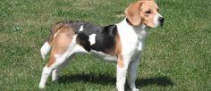 De Beagle werd oorspronkelijk gefokt voor de jacht en was opvallend goed. Doordat het een reukjachthond is heeft dit ras heeft de neiging om zijn neus te volgen en alles verder te negeren, zodat gehoorzaamheidstraining op jonge leeftijd een must is. De Beagle is ontstaan als een kruising tussen de Harrier en vele andere honden in Engeland. Dit ras komt het beste tot uiting tijdens de jacht op hazen, fazanten of kwartels.