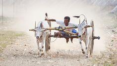 Ochsenkarren-Wettrennen in Myanmars zweitgrößter Stadt Mandalay