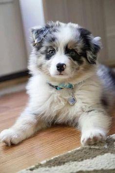 Aussie pup = cuteness overload!