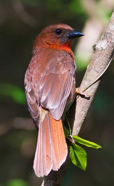 Red-throated Ant Tanager, Habia fuscicauda, Caribbean slopes from SE Mexico to E Panama